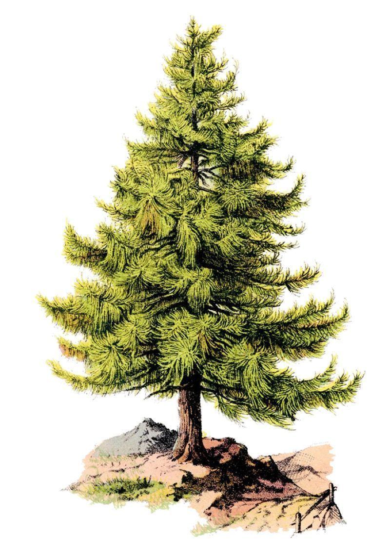 Afbeeldingsresultaat voor een lieve denneboom